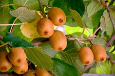 Meader Hardy Kiwi - Willis Orchard Company... perfect for pollinating your other kiwi trees