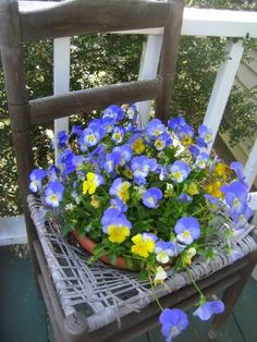 A chair full of pansies.