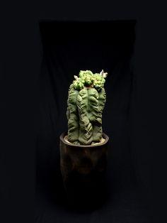 """亀甲碧瑠璃鸞鳳玉モンスト Astrophytum myriostigma cv f. monst """"kikkohekiruriranpogyoku"""""""