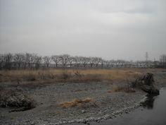 桜並木と梅の花:魚の庭 <2013-03-01>