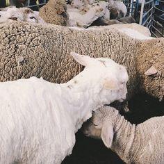 Beebee sheep.