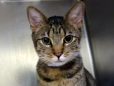 NYC TO BE DESTROYED 4/7/14 Manhattan Center My name is DESERT GOLD. My Animal ID # is A0994754.I am a neutered male brn tabby domestic sh mix. The shelter thinks I am about 3 YEARS old.I came in the shelter as a STRAY on 03/24/2014 from NY 10029, STRAY  in with Group/Litter #K14-171661.