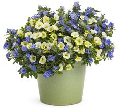 Container 'Harbor Mist' featuring:  Calibrachoa 'Superbells Yellow Chiffon' and Dwarf Morning Glory 'Blue My Mind' (Evolvulus)
