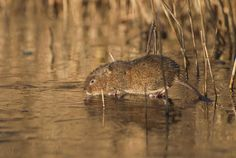 Arvicola amphibius, european water vole searching for food on ice, WWT London Wetland Centre, December. www.sam-rowley.com by samrowley1123, via Flickr