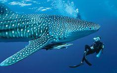 Pillow Talk: Victoria Monk dons a pair of fins to explore the underwater world at the Mirihi Island Resort in the South Ari Atoll Whale Shark Diving, Swimming With Whale Sharks, Whales, Underwater Creatures, Underwater World, Freshwater Aquarium, Aquarium Fish, Best Scuba Diving, Padi Diving