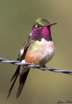 Aves Catarinenses - Informações sobre a Ave Estrelinha-ametista ou beija-flor mosca.