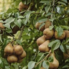 via @cal_pear: It's been said before and we'll say it again - the beauty of pears is more than skin deep. Learn more about pear nutrition at calpear.com!