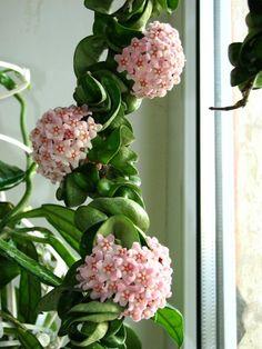 Wachsblume Hoya-Indoor Pflanzen-Anbauen Pflegetipps zur Anzucht