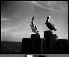 Walker Evans - Pelicans on Dock Piling, Florida (1941)