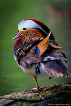 Wildlife Treasures, Mandarin Duck by giorgio debernardi Canard Mandarin, Mandarin Duck, Pretty Birds, Beautiful Birds, Animals Beautiful, Simply Beautiful, Beautiful Things, Beautiful Pictures, Nature Animals