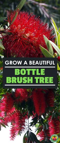 You can grow a bottle brush tree at home! Whether you want it to grow as a shrub or a full sized tree, our complete care guide will show you how. It's simple and easy with these tips! #houseplants #bottlebrush #melaleuca #callistemons #gardening