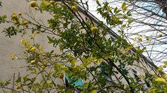 fruitful lemon tree in Rome  http://www.just-commerce.net