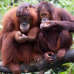 Orangutan my grandmas favorite