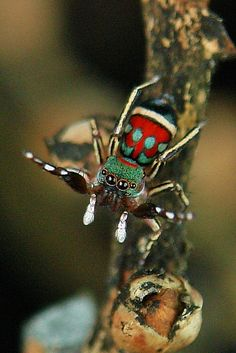 Jumping Spider (Siler semiglaucus) by itchydogimages, via Flickr. Nice sweater. :)