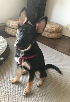 Meet Anya, an adoptable German Shepherd Dog looking for a forever home near Seattle, WA. If you're looking for a new pet to adopt or want information on how to get involved with adoptable pets, Petfinder.com is a great resource.