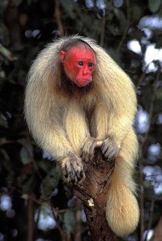 White Uakari, Mamirauá Reserve, Brazil.  Photo: Luiz Claudio Marigo. Luxury Amazon & South American Wildlife Tours.