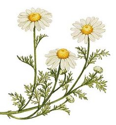 chamomile over daisies.