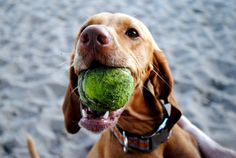 Our Vizsla's obsession, 'the tennis ball'.