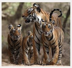 Stunning wildlife photography from Twitter - gorgeous family of tigers, mum and cubs.