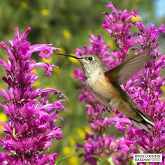 Rosita hummingbird mint (Agastache or Hyssop) %20was%20selected%20for%20its%20smaller%20size%20and%20dense%20spikes%20of%20raspberry-red%20flowers%20(50%%20more%20flowers%20than%20the%20typical%20Agastache%20cana).%20It%20blooms%20for%20several%20months%20beginning%20in%20early%20to%20mid-summer.%20A%20High%20Country%20Gardens%20introduction