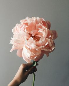 Peonies Discover Pinkwinged Pinkwinged Anna Remarchuk Hope you have a wonderful day Flowers Nature, Pink Flowers, Beautiful Flowers, Pink Peonies, Fresh Flowers, Floral Photography, Still Life Photography, Spring Photography, Peony Flower