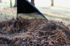 Using pine needles as mulch for strawberries. Pine needles are acidic, and strawberries love acidic soil.