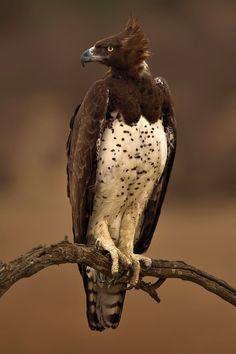 Birds of Prey - Marshall Eagle - by Fanie Heymans Pretty Birds, Beautiful Birds, Animals Beautiful, Cute Animals, Exotic Birds, Colorful Birds, Big Bird, Birds Of Prey, Wild Birds