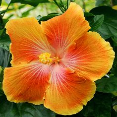 Hibiscus 'Aztec Giant'                                                                                                                                                                                 More