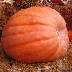 Dills Atlantic Giant Pumpkin are giant pinkish-orange pumpkins that can weigh over 800 pounds. Howard Dill of Nova Scotia introduced this variety in 1978. Heirloom | 100-125 days | 20-35 seeds