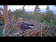 Merikotkas Live In The Now, Eagles, Blessings, Blessed, Peace, Animals, Animales, Eagle, Animaux