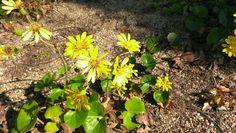 Farfugium japonicum (L.) Kitam. Petioles are edible. ツワブキ。葉柄は食べられる。