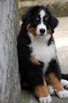 Nikonclub.it - pastore Bernese