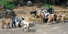 Nigerian Dwarf Goats, Baby Goats, Animals, Animales, Animaux, Animal, Animais
