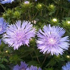 'Mel's Blue' sports bright violet-blue flowers atop sturdy stems that enliven a border or a vase with equal intensity. It blooms for the. Backyard Renovations, White Flower Farm, Border Plants, Decorative Borders, Garden Oasis, Plant Wall, Flower Wallpaper, Cut Flowers, My Flower