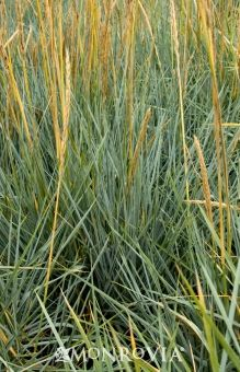 Monrovia's Blue Dune Lyme Grass details and information. Learn more about Monrovia plants and best practices for best possible plant performance.