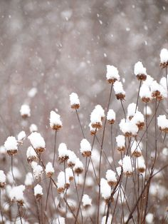 "Winter Snow on Seed Heads 9"" X 12"" Fine Art Photography, Winter Snow Wildflower Print"