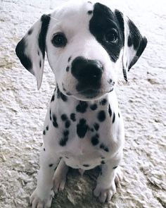 cute puppies Super cute puppy visit us for more Dalmatians are lively, smart, and want to please you. Super Cute Puppies, Cute Little Puppies, Cute Little Animals, Cute Dogs And Puppies, Cute Funny Animals, Baby Dogs, Doggies, Cute Pups, Baby Animals Super Cute