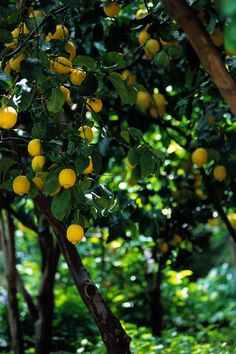 And we thought our lemon tree was flourishing. Look at this one . . .