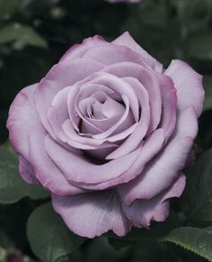Hybrid Tea Rose 'Neptune™'.  My personal fav a purple rose, how rare is that?