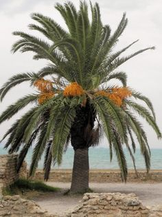 Date Palm Tree Care: Tips On How To Grow Date Trees -  Date palms are common in warm zones of the United States. Cultivar choice and zone are important information when considering how to grow date trees. Learn more in this article.