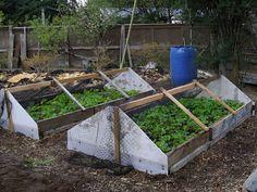 growing strawberries - from islandrustic.blogspot