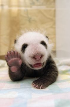 "Panda cub say, ""hi - have an awesome Tuesday!!"""