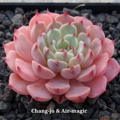Help me I'm falling....in love with Luma!! https://flic.kr/p/AsMTBN | Echeveria 'Luma' | Several plants start to have these colors. Created by Chang-jo & Air-magic