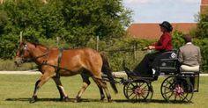 Erlking (EK) is a bay Gotland gelding foaled in 1994