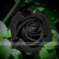 1 Professional Pack, 50 seeds / pack, Les Paul Super Black Beauty Rare Rose Flower Seeds #NF411