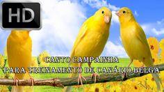 CANTO CAMPAINHA PARA TREINO DE CANÁRIO BELGA