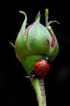 Ladybug on rose bud