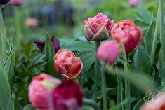 Oravankesäpesä: TULPPAANIAIKA: KOLMAS NÄYTÖS. Rose, Flowers, Plants, Pink, Plant, Roses, Royal Icing Flowers, Flower, Florals