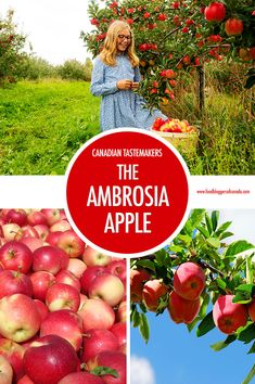Canadian Tastemaker: The Ambrosia Apple  Can a food be a Canadian tastemaker? Absolutely and the Ambrosia Apple is just that - a uniquely Canadian apple variety born out of a happy accident that's being embraced here at home as much as it is around the globe for its most delicious qualities.  #foodbloggersofcanada
