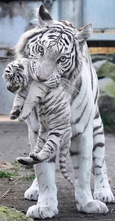 Big Cats, Cats And Kittens, Cute Cats, Animals And Pets, Baby Animals, Cute Animals, Beautiful Cats, Animals Beautiful, Amazing Animal Pictures